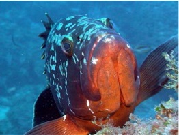 Plongée-nature-plongée-mérou-Corse