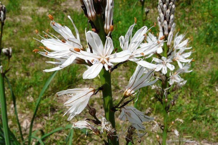 Maquis-corse-plantes-asphodèle