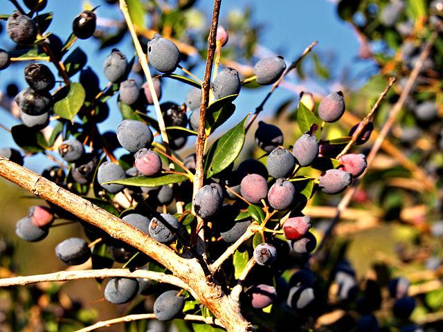 Plante-corse-myrte-endemique-corsica