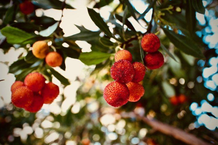 Plante-maquis-Corsica-arbousier