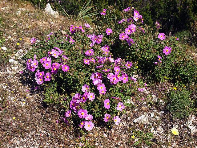 Plante-maquis-Santo-Pietro-di-Tenda-Cistus-creticus