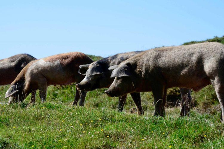 Umundu-di-uporcu-musée-cochon-Corsica.jpg