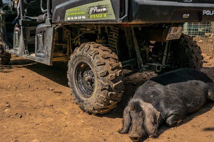 u porcu ranger- corse – figari – exploitation porc- porc noir (1)