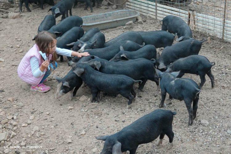 u porcu ranger- corse – figari – exploitation porc- porc noir (5)